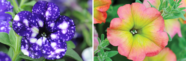 Petunia 'Night Sky' and Petunia 'Cremissimo'