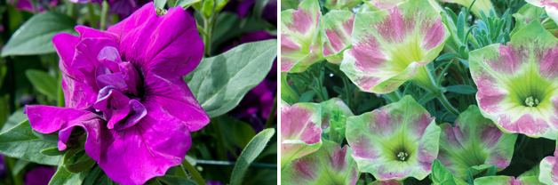 Petunia 'Purple Rocket' and Petunia Crazytunia 'Green With Envy'