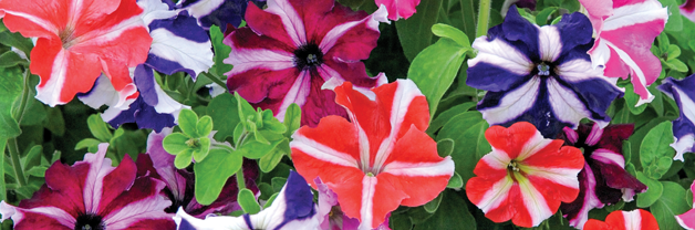 Petunia 'Stars and Stripes Mixed'