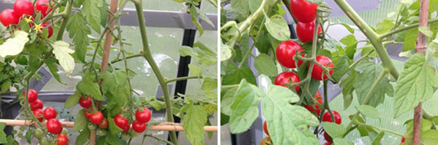 St Mary and Tomtato® Fully Grown