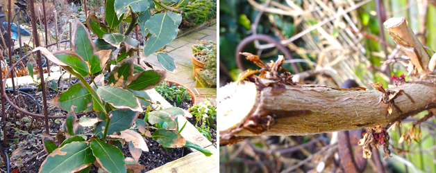 Bay & Fuchsia riccartoni