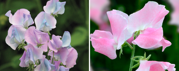 Sweet Pea 'Eleanore Udall' & Sweet Pea 'Turquoise Lagoon'