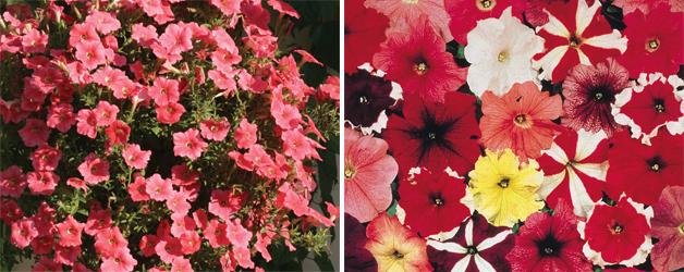Petunia 'Salmon Velvet' & 'T&M's Global Grandiflora'