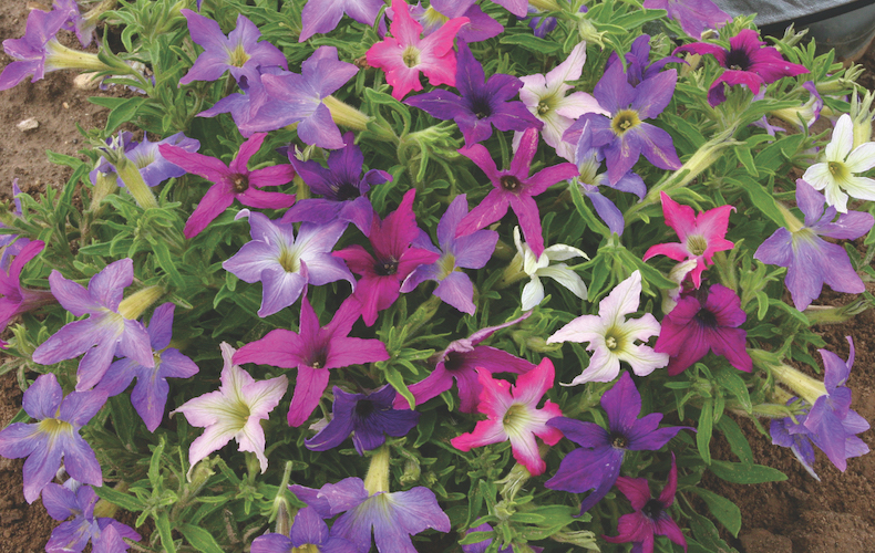 Petunia x hybrida 'Sparklers' from Thompson & Morgan