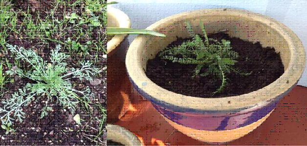 Yarrow and Californian Poppy