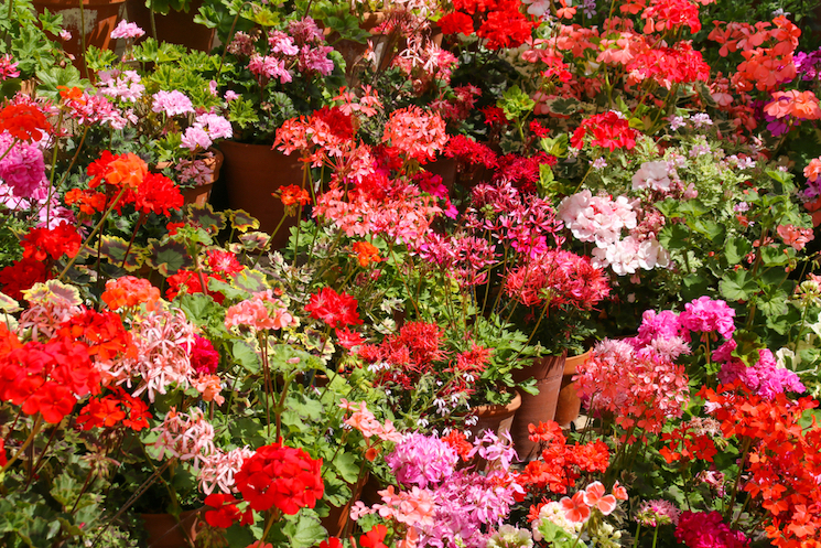 geranium display