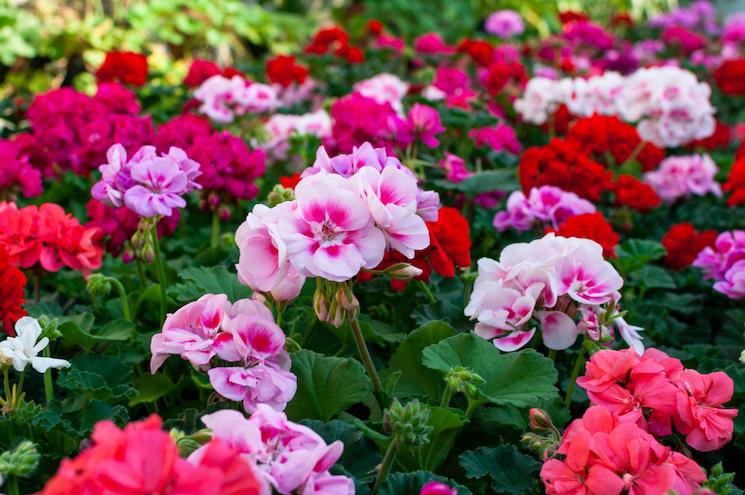 healthy geraniums