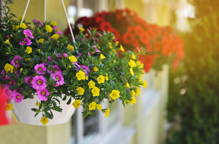petunias in hanging baskets