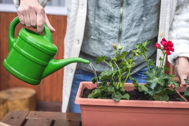 Arroser les géraniums dans un pot