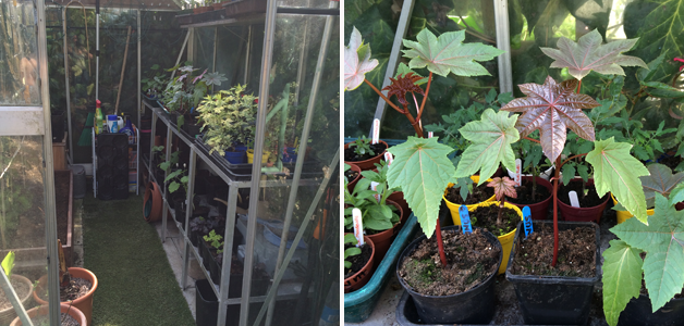 Caroline's overflowing greenhouse & ricinus