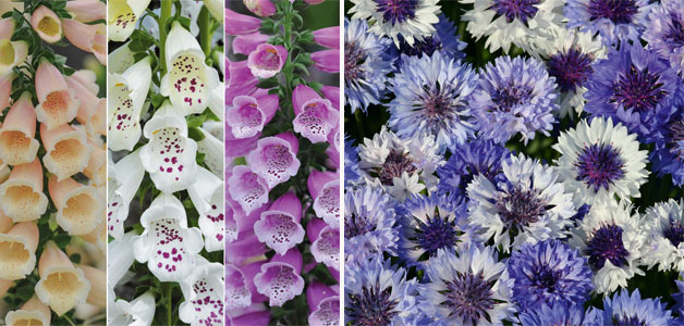 Foxglove 'Dalmation Mixed' & Cornflower 'Classic Fantastic'