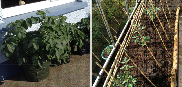 Amanda's Potato 'Charlotte' & Tomato 'Magic Mountain'