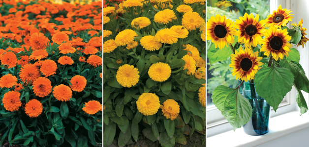 Calendula 'Candyman' Orange & Yellow & Sunflower 'Helios Flame'