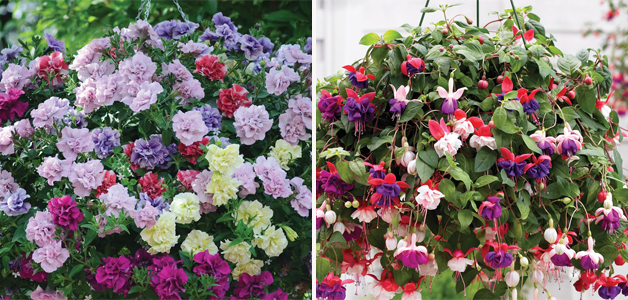 Petunia 'Frills & Spills™ Mixed' & Fuchsia 'Trailing Mixed'