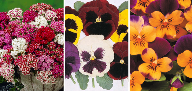 Dianthus barbatus 'Excelsior Mixed', Pansy 'Majestic Giants Mixed' & Viols 'Sorbet Orange Jump Up'