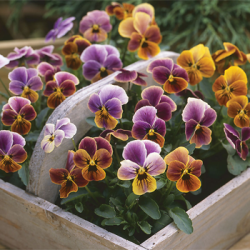 Viola 'Plums & Peaches'
