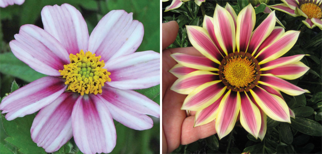 Bidens 'Pink Princess' & Gazania 'Big Kiss White Flame' F1 Hybrid