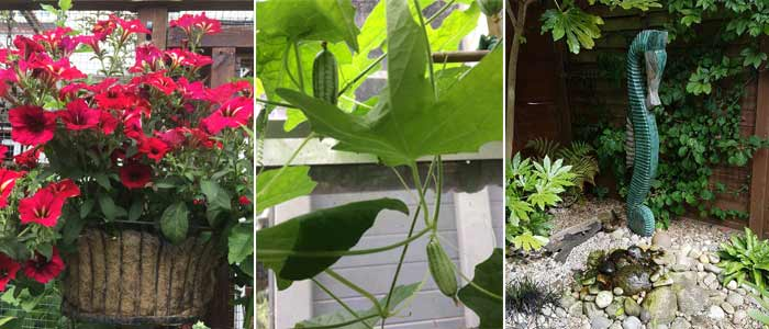 Petunia Mandevilla, Cucamelons and Fernery in Caroline's Garden