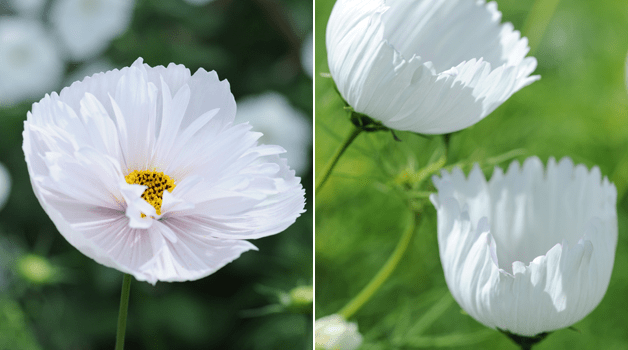Cosmos 'Cupcakes White' part of our Cosmos 'Cupcakes' seed range