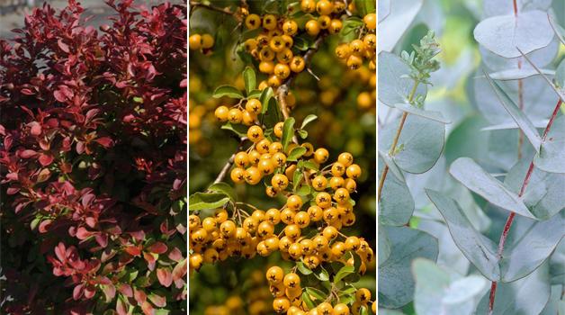 Berberis 'Admiration,' Pyracantha 'Soleil d'Or,' & Eucalyptus gunnii