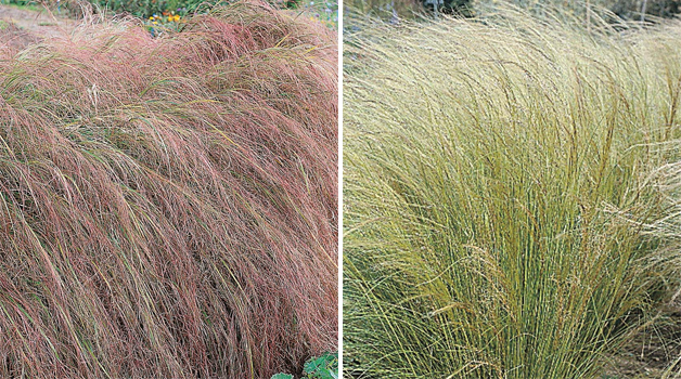 Anemanthele lessoniana & Stipa tenuissma