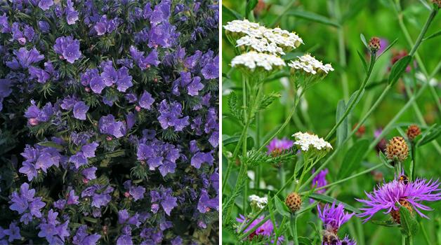 Echium vulgare 'Blue Bedder' & Wildflower mixed seeds
