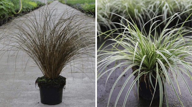 Carex 'Milk Chocolate' & Carex morrowii 'Fisher's Form'