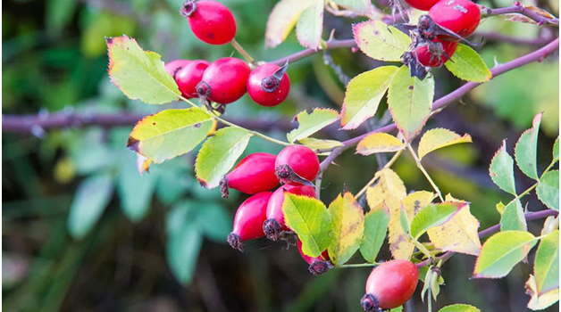 Rosehips ready for collecting