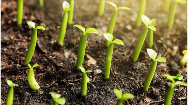 Seedlings coming through the soil