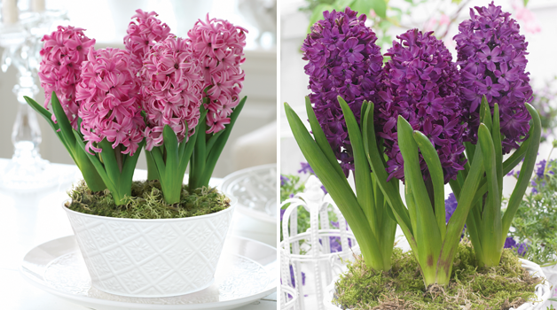 Hyacinth 'Pink Pearl' & Hyacinth 'Woodstock' Christmas Gifts