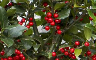 How to make an evergreen Christmas garland