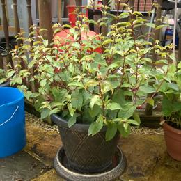 Fuchsia Berry Plant