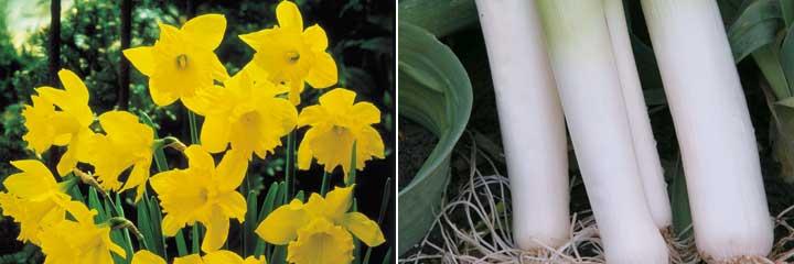 daffodils leeks