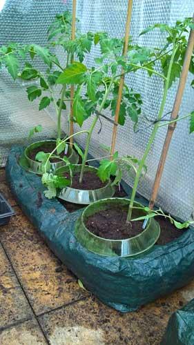 tomatoes in growing bag