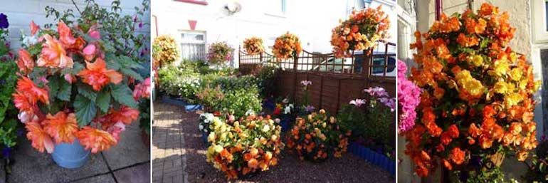 Begonia 'Apricot Shades' in Jean's container garden