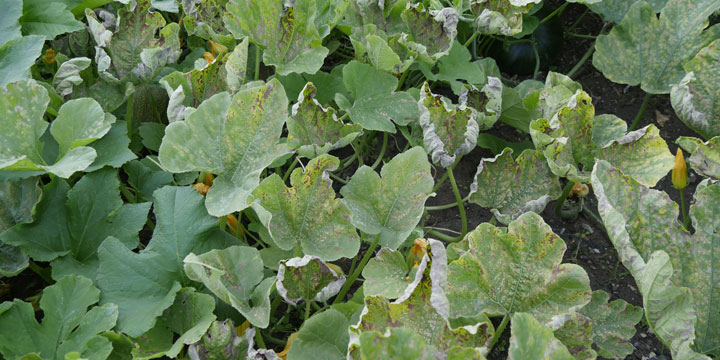 powdery mildew on pumpkin leaves