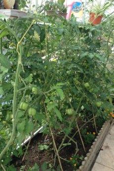 tomato yellow stuffer
