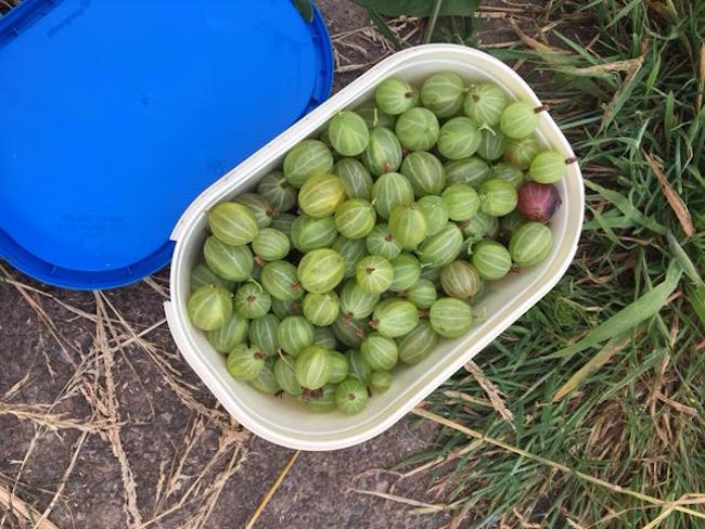 gooseberries from the horticultural hobbit