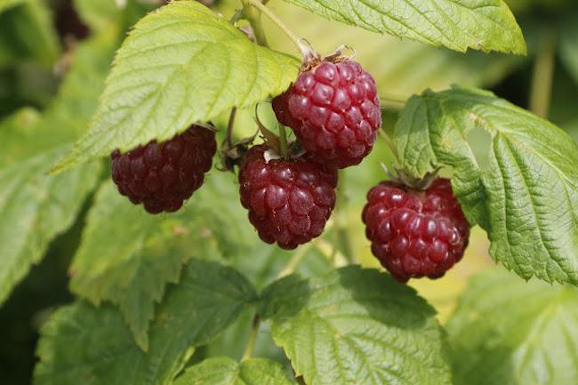 raspberries frpm jibberjabber's plot