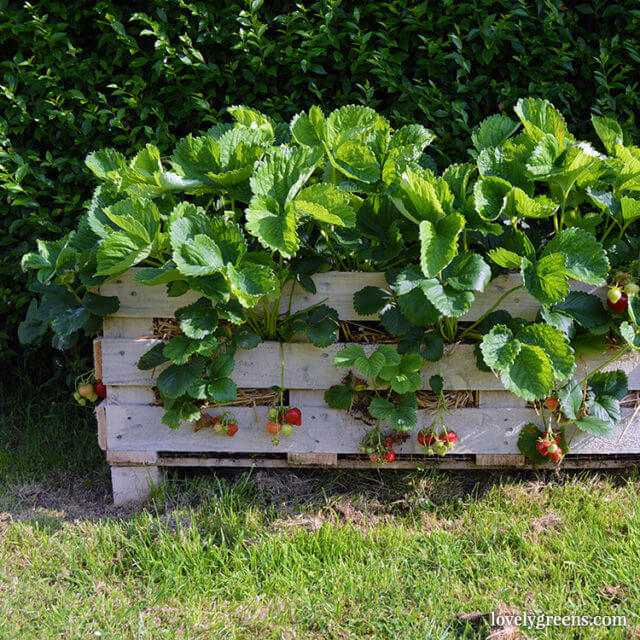 strawbery planter made from old pallet