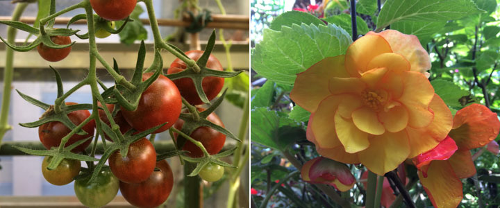 garnet tomatoes and late begonia