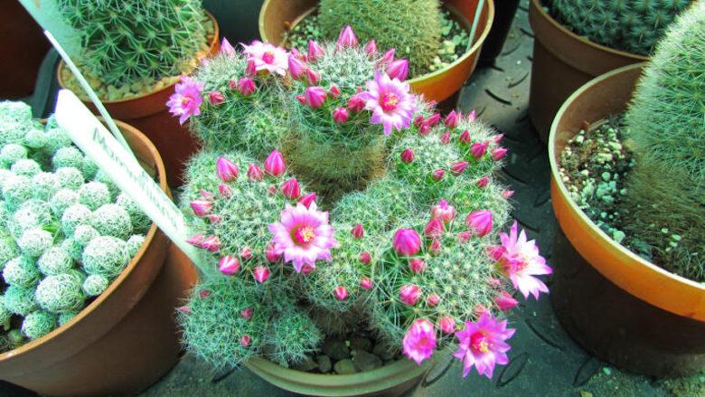Cactus Mammillaria de Desert Plants Avalon