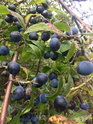 Sloes growing in the wild