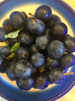 harvested sloes