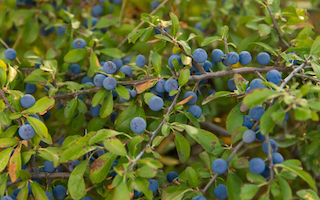 Sloes, Quickly…… Or, your foraged drinks cabinet