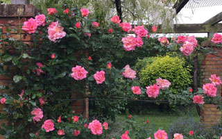 Climbing Rose Pruning