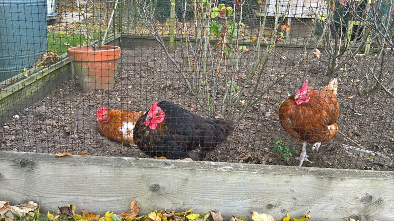 chickens in fruit cage