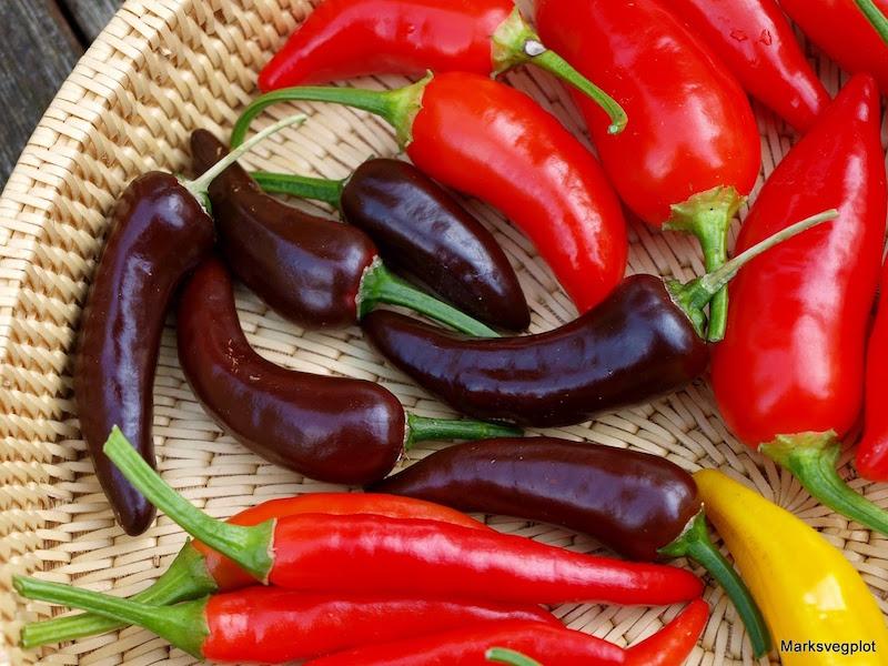 chilli harvest from mark's veg plot