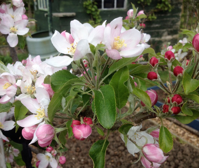mud and gluts apple blossom