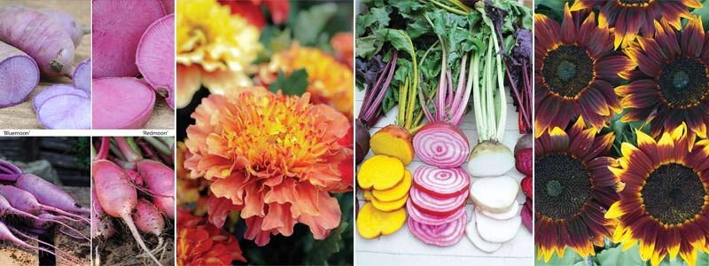 radishes, strawberry blond, rainbow beet, sunflower